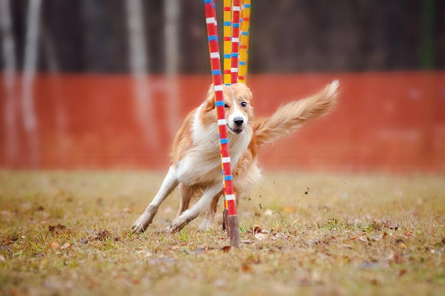 lustig hund grenze collie laufen competitions von lebendigkeit